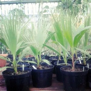 Palm trees ready to come to a CCFM market near you